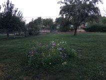 My bee and butterfly garden is blossoming